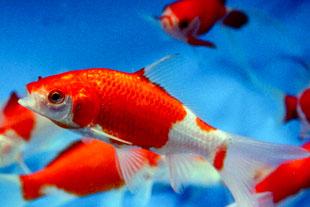 Sarasa Comet Goldfish: dundeegardenart com